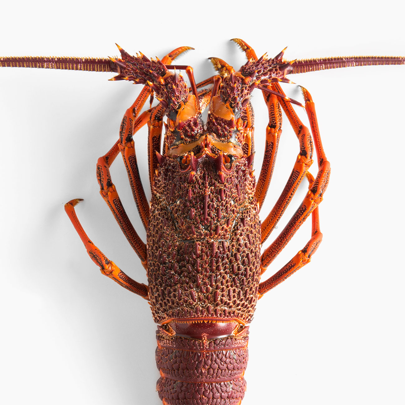 wow-ferguson-australia-lobster-2