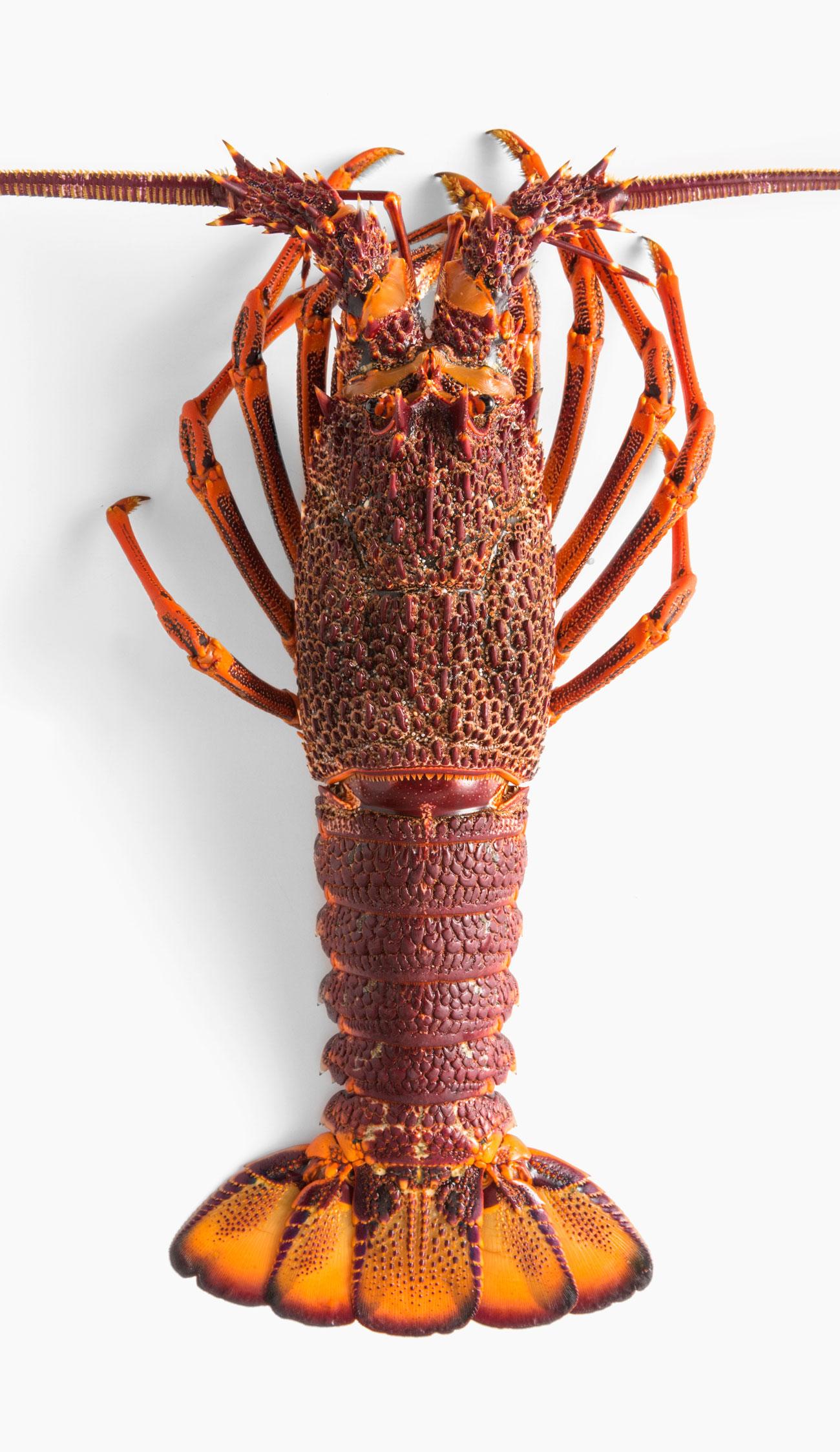 ferguson-australia-lobster-2